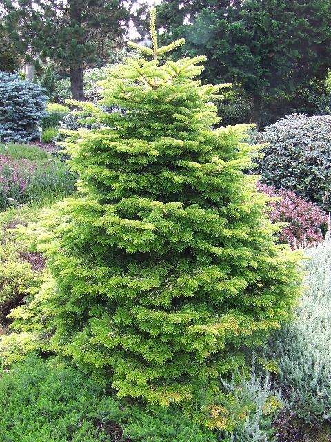 описание хвойных деревьев