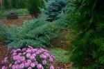 озеленение хвойными г Шахты