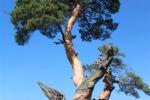Сосна обыкновенная (Pinus sylvestris L.) 800лет